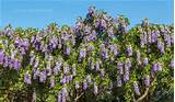 The Inspiration of Planting Texas Mountain Laurel : Texas Mountain ...