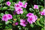 ... Flowers are very common in Goa, blooming in every house garden