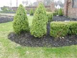 boxwoods grow in a conical shape so they are lower maintenance