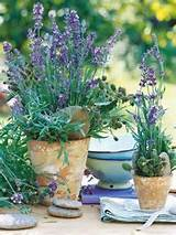 Lavender, potted plants