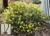 Sierra Sundrops - Calylophus hartwegii