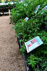 here at rainbow gardens we offer rows and rows of heirloom and hybrid