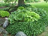The first photo shows a border of Tiny Tears Hosta. Left front is ...