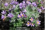 perennial pasque flower pulsatilla vulgaris