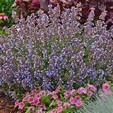 new english garden bee plants purrsian blue nepeta