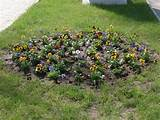 Flower bed.Pansy