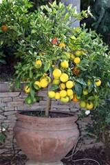 little lemon tree | Lovely Lemony Lemons and Lemon Trees | Pinterest