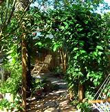 homemade garden trellis covered with bleeding heart vine stroll in