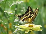 butterfly yellow zinnia garden ideas pinterest