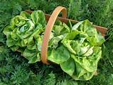 landscaping-ideas-edible-plant-green-salad landscaping-ideas-edible ...