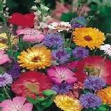 mixed annuals quick easy