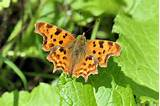 Comma Butterfly | Gardening Ideas | Pinterest