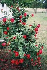 ideas rose garden landscaping ideas pictures designs photos