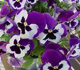 pansie gardening ideas for spring my garden pinterest