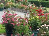 mini roses in containers cottage flowers pinterest