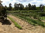 grape vine trellis garden pinterest