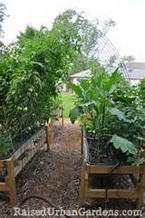 tomatoes raised urban gardens look at irrigation system with