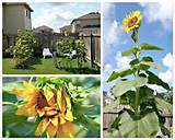 Own Sunflower Room by Kids Activities Blog - Home and Garden DIY Ideas ...