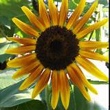 hybrid cutting mix sunflower z my secret garden pinterest