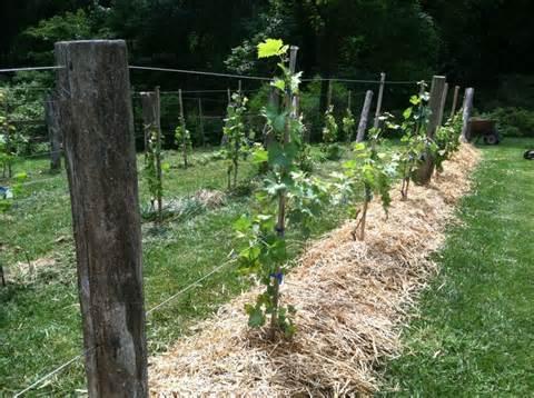 grapevine trellis designs grape trellis with black locust