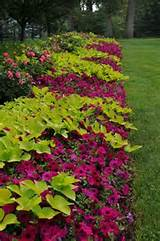 great contrast with sweet potato vine and the wave purple petunias