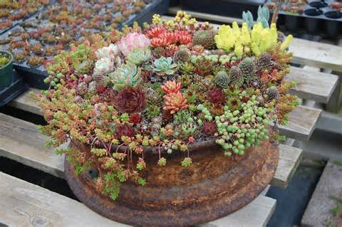 succulent gardens containers far out flora