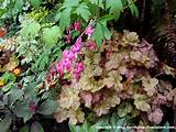Semi-shade area in my garden. Heuchera, bleeding hearts, cape fuchsia ...
