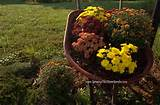 Mums and a Mailbox Garden Meet a Wheelbarrow - Growing The Home Garden