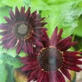 chianti hybrid sunflowers flowers pinterest