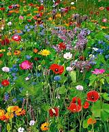 Wildflower garden from seeds | Garden Ideas | Pinterest