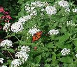 pentas is the most popular florida perennial with gardeners and