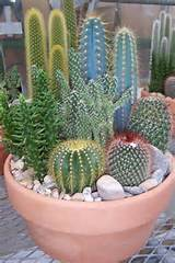 cute cactus garden around the gnome and down the garden path pint