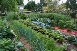 shannon veg garden jpg