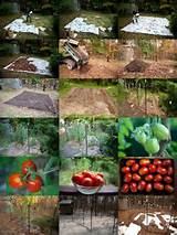 weed free dig free tomato garden all thumbs garden pinterest
