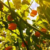 Habanero peppers | Ideas for my future garden | Pinterest