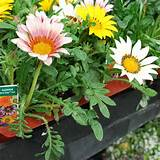 new day mix gazania contrasts well with black plants