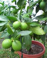 potted lime tree gardening outdoor ideas pinterest