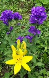 Yellow Lily -- with purple bellflower (not available) But you can see ...