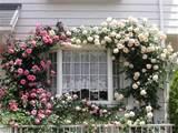 climbing roses vines pinterest