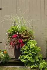 This Container Garden has both zinnia and sweet potato vine, 2 ...