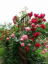 gardens ideas green thumb rose gardens climbing rose red rose