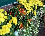 hot peppers gardening ideas pinterest