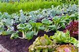 vegetable garden veggie garden ideas pinterest