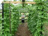gardening for children in tunnels of heirloom pinto snap beans