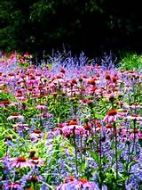 Coneflower & Russian Sage. | GARDEN PLANTS | Pinterest