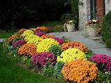 Some plants are naturally associated with fall. Like chrysanthemums ...