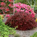 beautify your garden with barberry