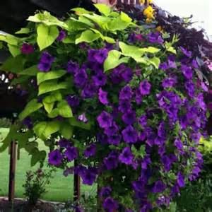 climbing flowering vine garden ideas purple sweet potato vines