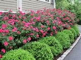 ... Rose, Knockout Roses, Knockout Rose Hedges, Knockout Rose Gardens