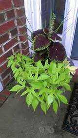 my sweet potato vine loved the rain garden ideas pinterest